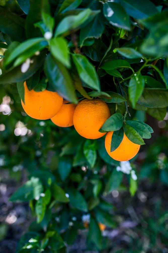 oranges Brisbane wedding (4)