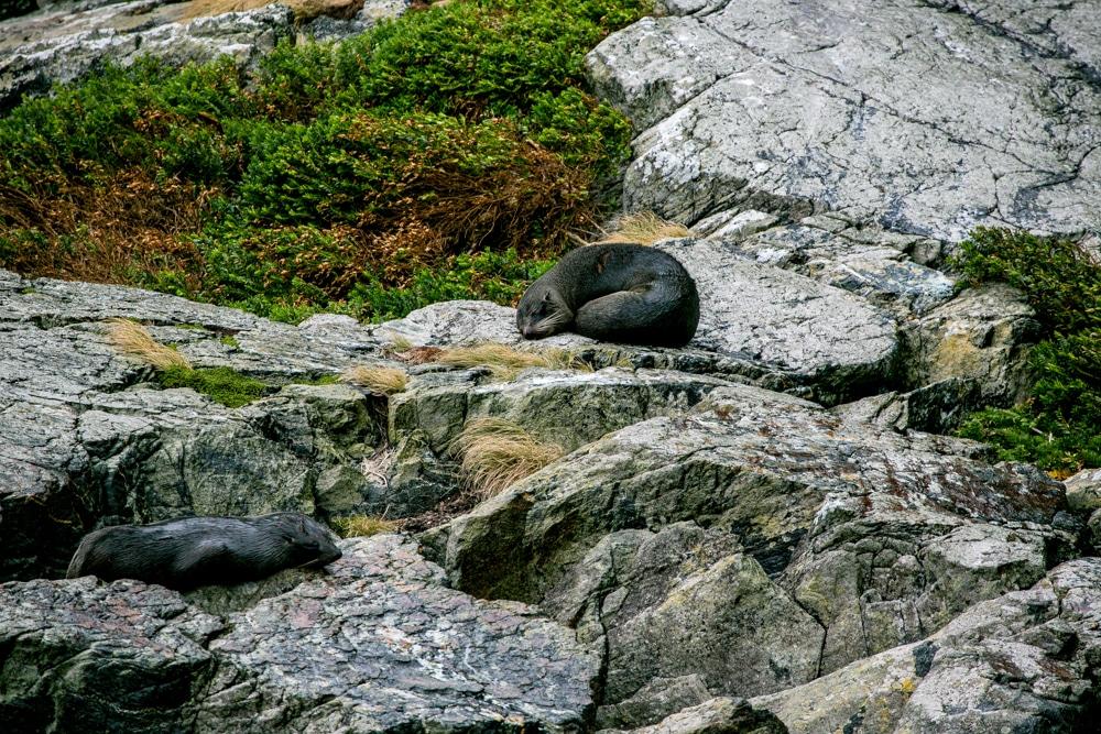 Milford Sound NZ seal